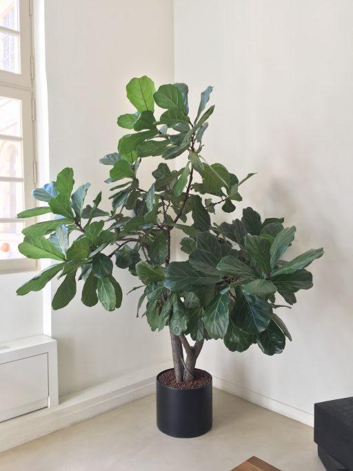 Ficus Lyrata Green Tara studio vegetal PARIS
