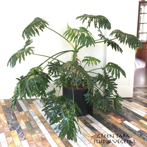 Philodendron Selloum GREEN TARA studio vegetal TAG